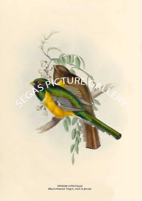 Fine art print of the TROGON ATRICOLLIS - Black-throated Trogon, male & female by John Gould (1835 -38)
